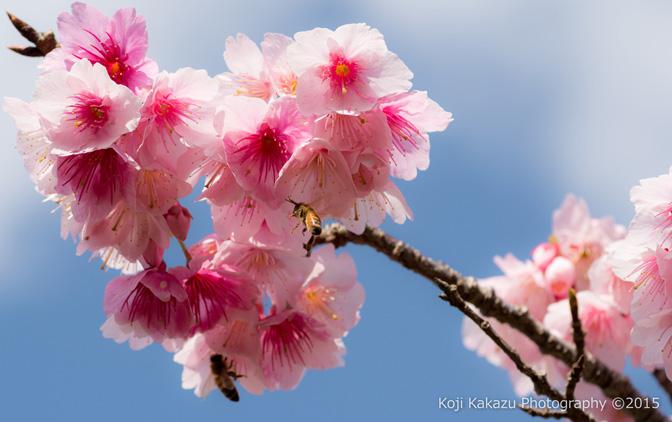 沖縄県本部八重岳桜まつり